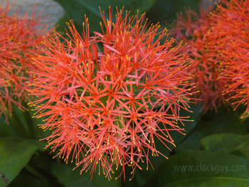 Hymanthus (Blood Lilly)