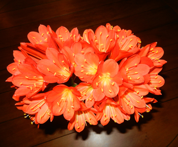 Clivia bloom